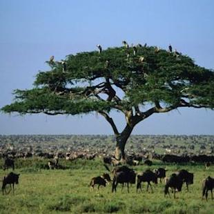 A New Threat in the Serengeti to the World's Greatest Animal Migration