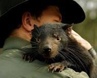 "Adrian Good, a keeper at Devil Ark in the Barrington Tops area of Australia's New South Wales, holds ""Scooter"" a 14-month old Tasmanian Devil. At Devil Ark a group of endangered Tasmanian Devils are being taught to forage in the wild as researchers race to defeat a contagious cancer threatening the species with extinction"