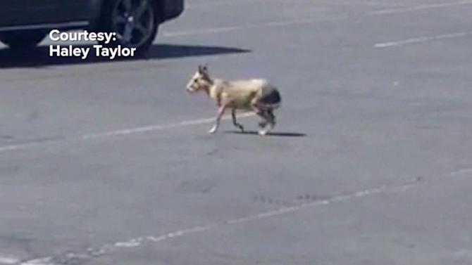 Las Vegas police capture exotic rodent on the loose in parking lot