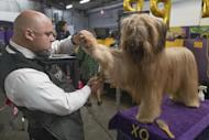Adriano Rocha grooms XO, a briard, during the 141st Westminster Kennel Club Dog Show, Monday, Feb. 13, 2017, in New York. (AP Photo/Mary Altaffer)