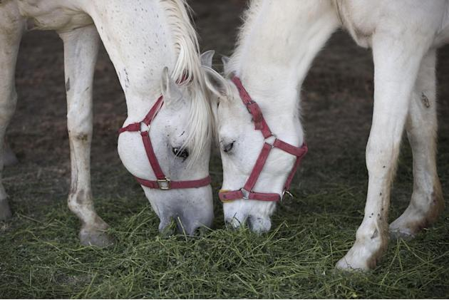 Horses eat during a press visit set up by a circus workers union to show animals from local circuses that have recently gone out of business in Tizayuca, Hildalgo, Thursday, March 5, 2015. A December