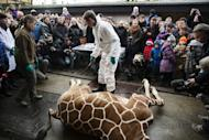 Marius the Giraffe: Why Exactly Was Healthy Animal Killed at Copenhagen Zoo?