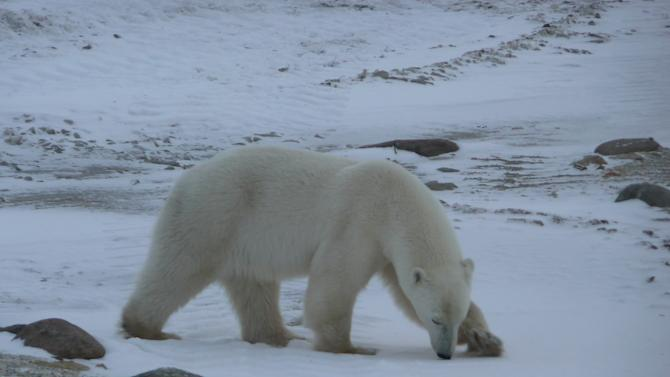 Inside the Plight of the Polar Bear