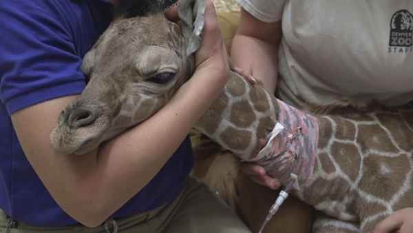 39 dobby 39 the newborn giraffe gets plasma treatment to for Giraffe childcare fees