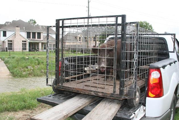 In this photo taken on July 8, 2007, a feral hog, which had been rooting and destroying yards and landscaping, was live-trapped just outside Houston's city limits. Property-destroying feral hogs b