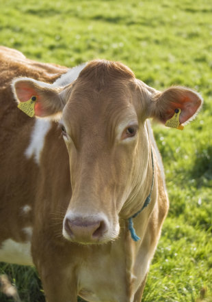 Lawyers & Law Firms, Are You Paying Attention To Your Brand? image Guernsey cow