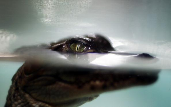 A crocodile hatchling is seen before it is release it into a canal near the Florida Power & Light's Turkey Point Nuclear Power Plant where they protect the crocodile and conduct research by counting t