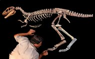 University of Chicago paleontologist Paul Sereno adds the toe claw to the skeleton of a tyrannosaur he called Raptorex. Other paleontologists do not agree these fossils belong to a new species.