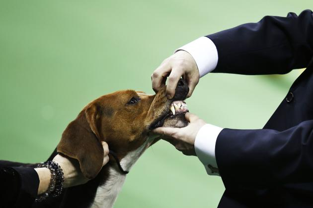 A Treeing Walker Coonhound is judged during competition at the Hound group during day one of judging of the 2014 Westminster Kennel Club Dog Show in New York