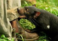 A 14-month-old Tasmanian Devil bites the trouser leg of his keeper at Devil Ark in Australia's New South Wales state, in April 2012. Could the Tasmanian devil, a ferocious marsupial threatened by facial tumours spread by biting, be saved by a change of character? Zoologists think there's a chance