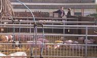 Pig Farming Crisis To Push Up Pork Prices