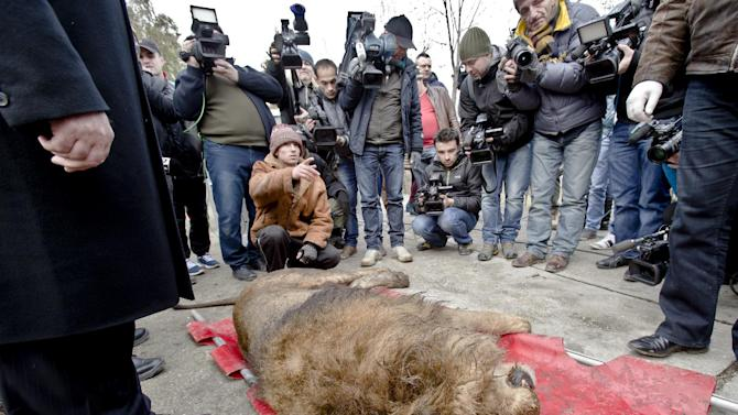 A sedated lion is surrounded by media at the estate of Ion Balint, known to Romanians as Nutzu the Pawnbroker, a notorious gangster, in Bucharest, Romania, Wednesday, Feb. 27, 2013. Authorities along with specialists of the animal welfare charity Vier Pfoten removed four lions and two bears that were illegally kept on the estate of one of Romania's most notorious underworld figures who reportedly used them to threaten his victims. Balint was arrested on Feb. 22, with dozens of others on charges of attempted murder, depriving people of their freedom, blackmail and illegally holding arms.(AP Photo/Vadim Ghirda)