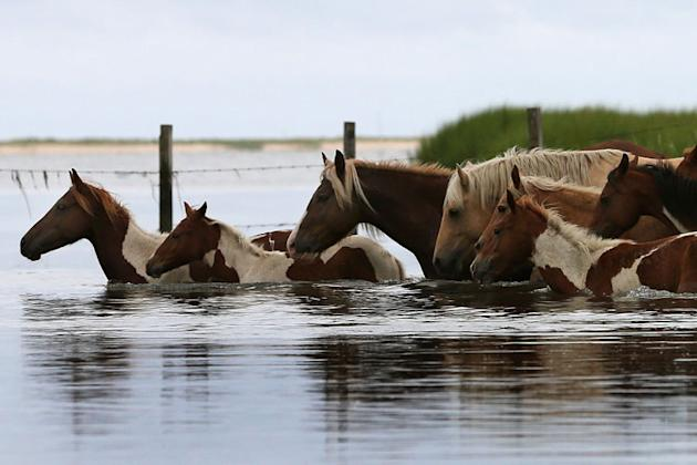 Wild ponies cross a small creek after being rounded up to be herded to a holding pen before making next weeks annual swim across the Assateague Channel to Chincoteague Island, on July 21, 2012 in Assa