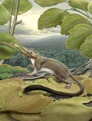An artist's rendering of the hypothetical placental ancestor, a small, insect-eating animal with a long, furry tail. The research team reconstructed the anatomy of the animal by mapping traits onto the evolutionary tree most strongly supported