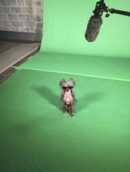 This March 24, 2016, photo provided by Christina Potter shows her female Chinese crested dog, Morgan, on the set of an advertising shoot in New Jersey. Morgan, like some other dogs appearing at Westminster Kennel Club dog show events in February 2017, also does work in movies, TV and commercials. (Christina Potter via AP)