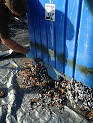 State aquatics worker scrapes off gooseneck barnacles from plastic bin. These grow in flotsam in the world's open oceans.