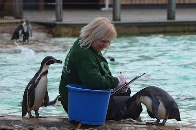 Penguins at London Zoo are counted with the help of food (London Zoo)