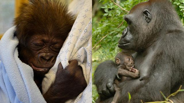 Cincinnati Zoo Training 'Gorilla Moms' for Rejected Baby
