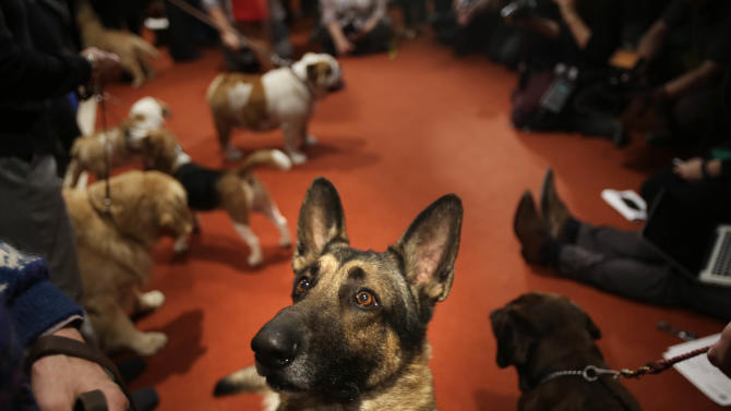 A German Shepard named Commander attends a news conference at the American Kennel Club in New York, Wednesday, Jan. 30, 2013. The club announced their list of the most popular dog breeds in 2012 and the German Shepard is in the top 5.  (AP Photo/Seth Wenig)