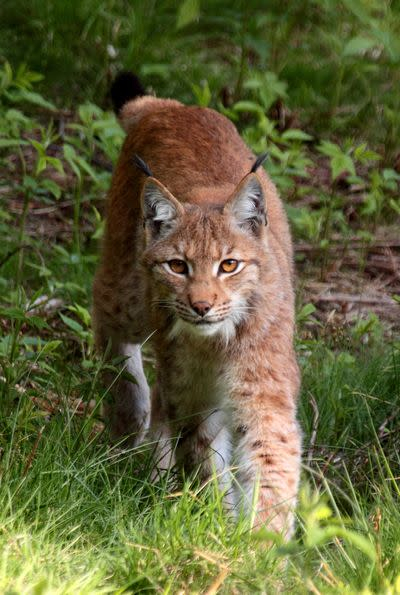 Wolves and lynx and bears, oh my! Europe's conservation win