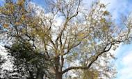 Ash Dieback: New Trees To Be Destroyed