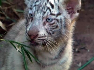 Raw: Three Rare White Tiger Cubs Debut at Zoo