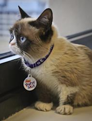 Grumpy Cat, an Internet celebrity cat whose real name is Tardar Sauce, is photographed on Friday April 4, 2014 in New York. Known for her facial expression, her owner Tabatha Bundesen says that Grumpy Cat's permanently grumpy-looking face is due to feline dwarfism. (AP Photo/Bebeto Matthews))