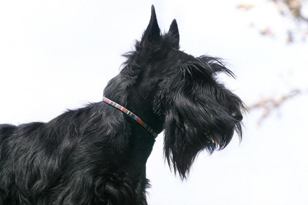Scottish Terrier — Aloof but Family Friendly