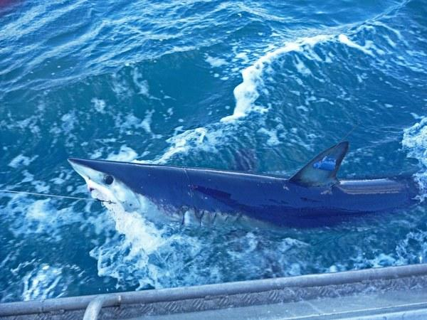 The mako shark, with GPS tag attached.