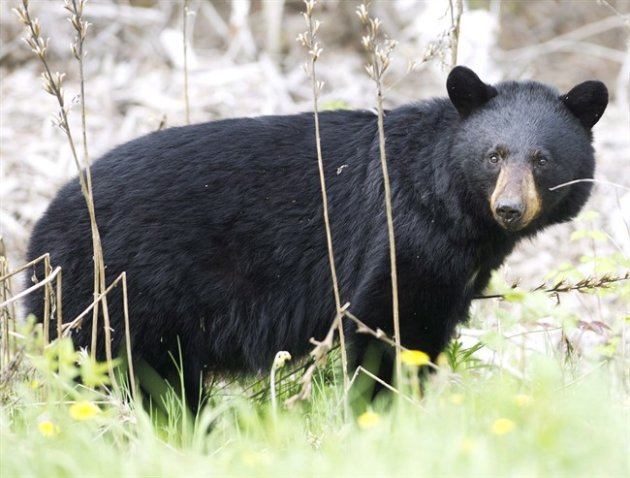 A black bear roams the forest near Timmins, Ont., on May 27, 2012. (THE CANADIAN PRESS/Nathan Denette)