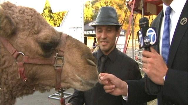 Camel Roams Calif. Streets After Escaping Circus