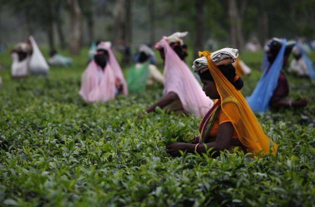 In this June 30, 2011 photograph, laborers pluck tea leaves at a tea plantation in Jorhat, east of Gauhati, Assam state, India.The area in northeastern India is the source of some of the finest black and British-style teas. Assam produces nearly 55 percent of the tea crop in India, a nation that accounts for 31 percent of global tea production. (AP Photo/ Anupam Nath)