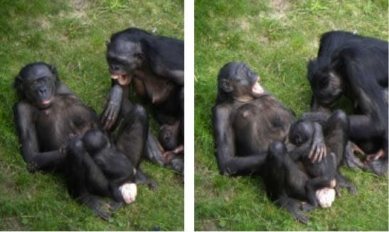 Like humans, bonobos yawn contagiously, but yawns are only infectious between close friends or kin.