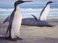 Handout image by artist Chris Gaskin from the Geology Museum at the University of Otago in Dunedin shows an illustration of of one of the largest penguins ever, based on fossilised remains found in New Zealand