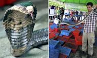 Smuggled Cobras Seized By Thai Customs Officials