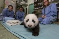 The San Diego Zoo's newest panda cub crawls during his exam on Oct. 18.