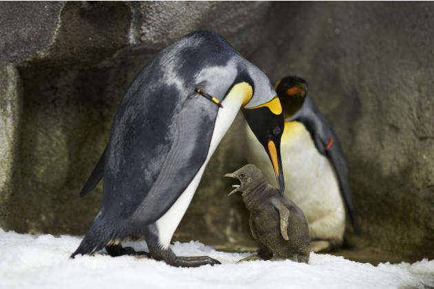 Gay King Penguins with new baby