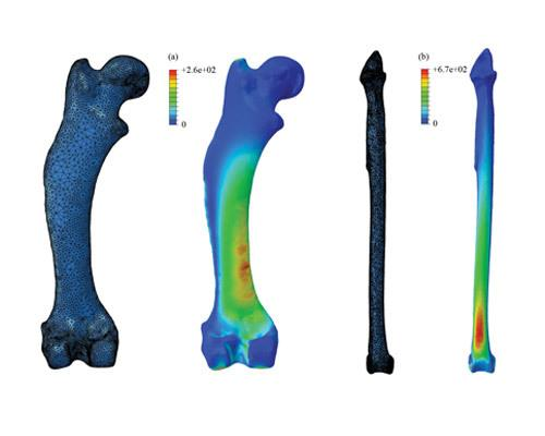 By simplifying leg bones down to basic columns, previous studies could have underestimated the stresses experienced in animal limbs by up to 142 percent. Stress shown here in the common hedgehog's femur (a), and a tibia of a large bird, Uria (b