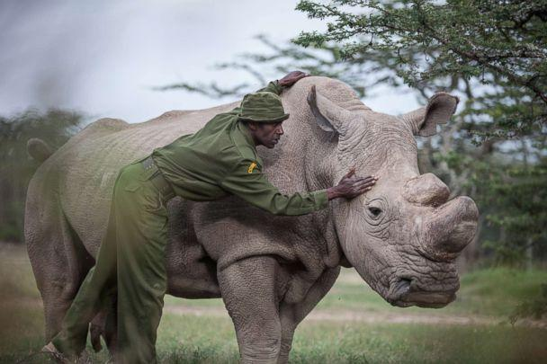 PHOTO: Mohammed Doyo, head caretaker, caresses Sudan, the last male northern white rhino left on the planet. (Nichole Sobecki for The Washington Post via Getty Images)
