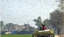 印度內憂外患 中國邊境衝突、蝗蟲大軍入侵歷年最嚴重