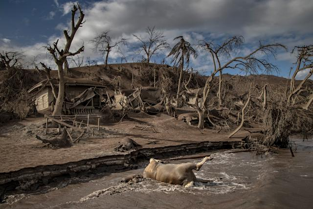 A dead cow rests on the shore. Nearby remains of animals, trees and houses are buried in ash on the island. | Ezra Acayan—Getty Images