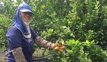 屏東農民種出好品質檸檬 吸引知名商家上架販售