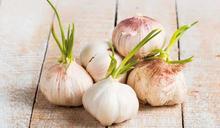 蒜瓣發芽先別丟!抗癌、抗老化的功效 比新鮮蒜頭更強