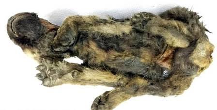 A descoberta pode ajudar a entender o período em que os cães foram domesticados (Foto: Reprodução/Siberian Times)