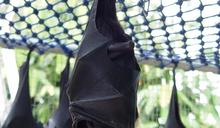 台灣陸棲動物紅皮書出爐 這個奇特的蝙蝠全台僅50隻!