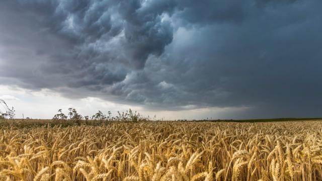 Gewitterwolken ziehen über ein Weizenfeld bei Großenhain in Sachsen. Foto: Bernd März