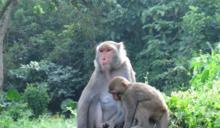 台灣獼猴的多與少
