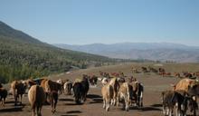 為擎天崗的牛請命:我們需要留下這片草原的生態與歷史