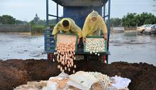 芬普尼雞蛋堆肥處理 雞隻不撲殺