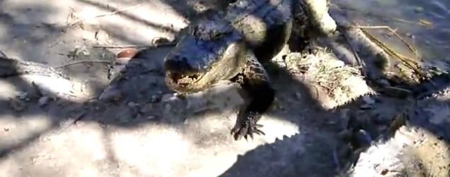 The fierce power behind a gator's bite